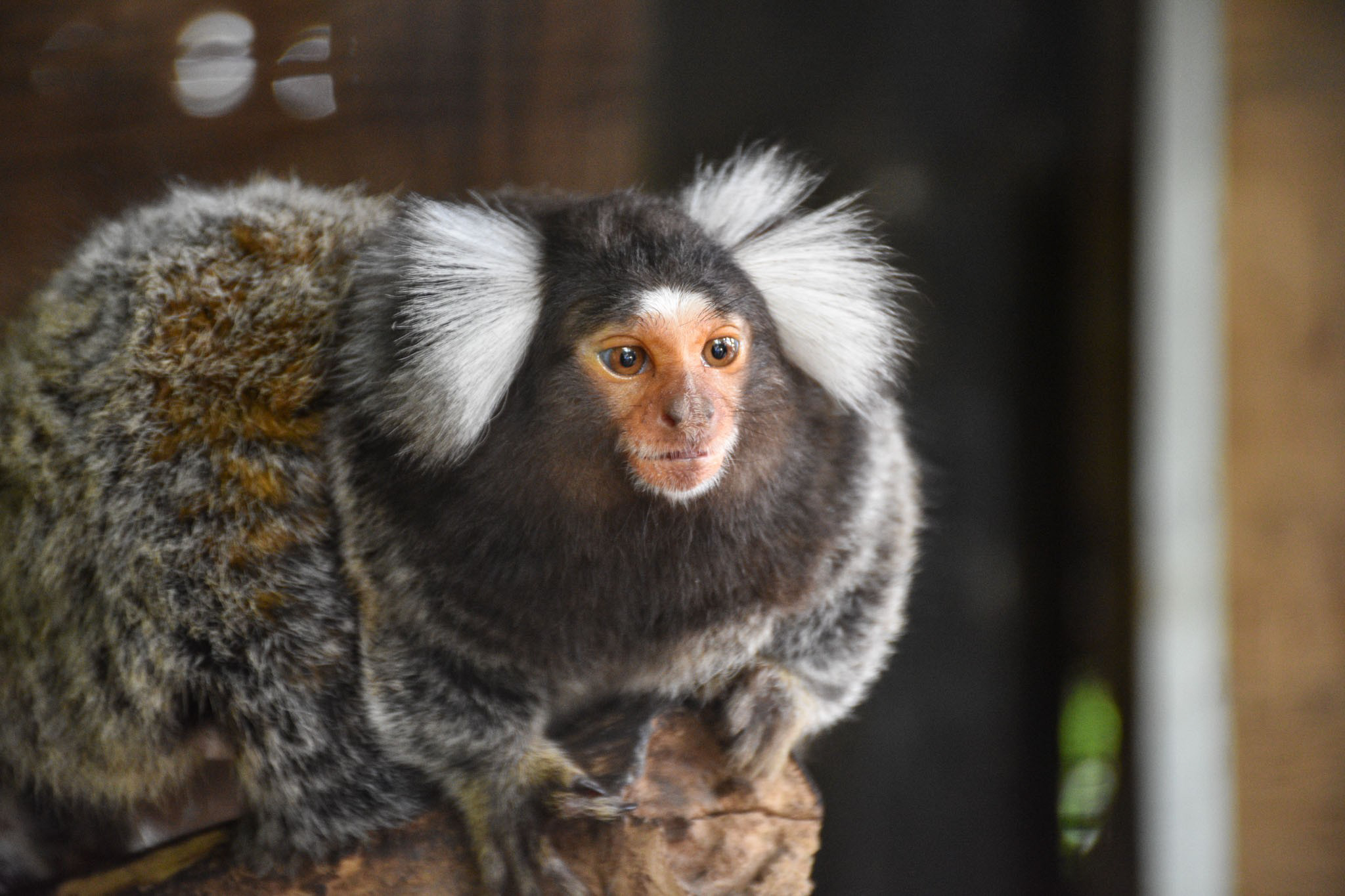 Marmoset Looking Away Sitting On Branch